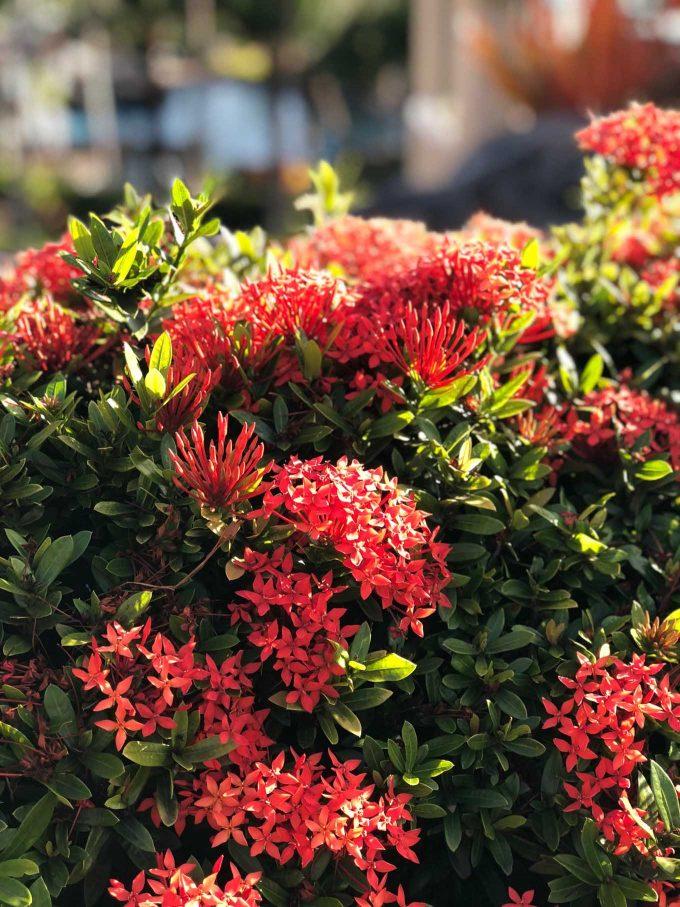 flowers in kauai